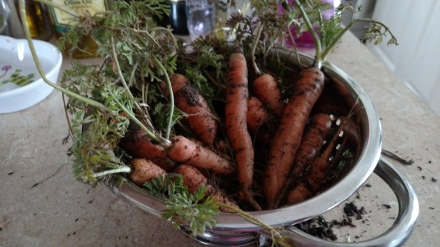 Carrots pulled 2/8/2017