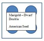 marigold-2
